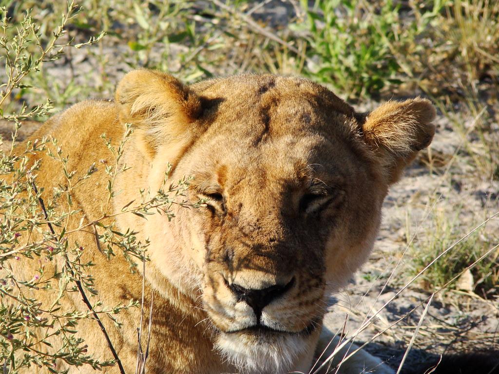 DSC08613 Lion