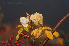 The last of the roses (Jean Knowles) Tags: winter red roses brown white river gold novascotia berries explore faded twig arr windsor geotag allrightsreserved atlanticcanada frostbitten hantscounty autumnfall nottobeusedwithoutmypermission 2009jeanknowles
