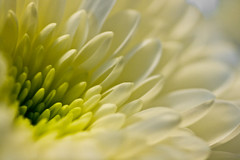 colored white flower #2 (Bas Lammers) Tags: blue white flower macro green yellow groen blauw geel wit bloem chrysant
