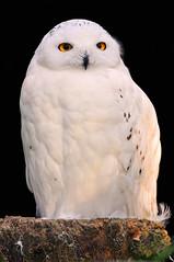 Snowy owl on black (Tambako the Jaguar) Tags: white bird zoo switzerland eyes nikon snowy basel owl perched zolli d300