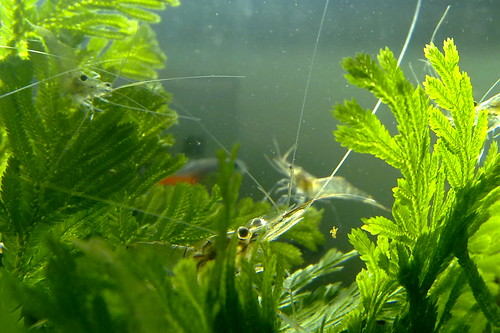 Freshwater prawns in aquarium