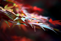 Autumn leaves ~~ (Marie Eve K.A. (Away)) Tags: november autumn colour macro fall nature japan canon season maple kyoto dof darkness bokeh foliage  japon   autumntint 11  blueribbonwinner  shinnyodo colormix  notprocessed   shinshougokurakujitemple