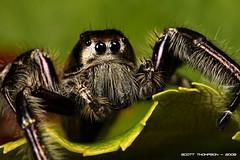 jumping spiders (Scott Thompson aka macrojunkie) Tags: jumping spiders