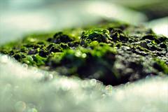 City in the Sea (BeautifulRust) Tags: sea seaweed macro green beach nature water rock bay nikon poem bokeh quote wave foam barnacles poe chesapeake foamy beautifulrust d5000