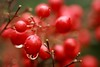 berry bokeh:  346/365 (helen sotiriadis) Tags: autumn red brown macro green fall water rain closeup canon berry published dof bokeh drop depthoffield droplet 365 canonef100mmf28macrousm canoneos40d toomanytribbles