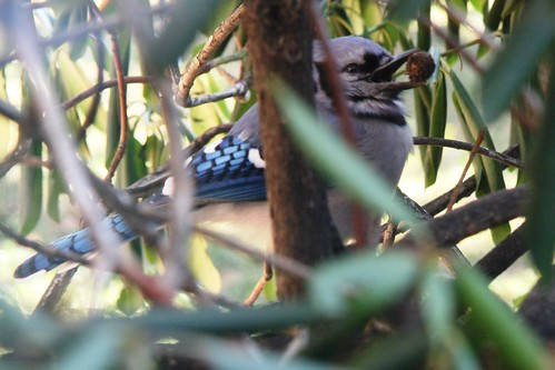 blue jay with berry