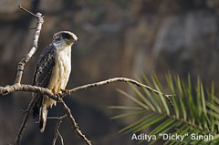 ADS_000007353 (dickysingh) Tags: india bird outdoor aditya ranthambore singh ranthambhore dicky adityasingh ranthamborebagh theranthambhorebagh juvenilecrestedserpenteagle wwwranthambhorecom