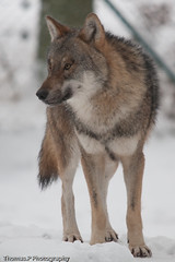 Wolf (Canis lupus) (Thomas.P2008) Tags: wild dog nature animal animals canon wolf wildlife wolves wilk canislupus