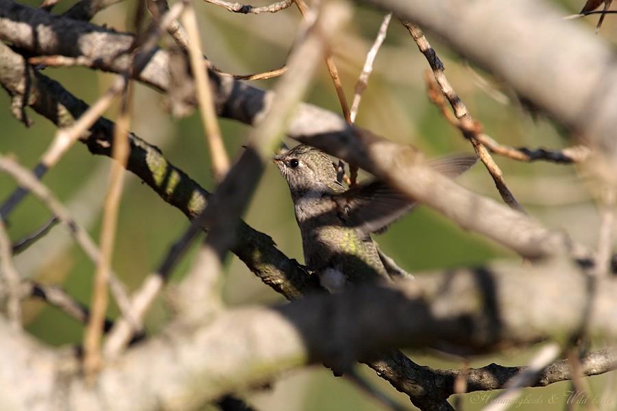 Anna's Hummingbird fledgling 091-2