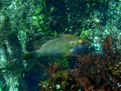 #364 cocktailfish (), male (Nemo's great uncle) Tags: geotagged underwater sealife nebukawa   pteragogus flagellifera   kanagawaprefecture  cocktailfish pteragogusflagellifera geo:lat=35200968 geo:lon=139139324