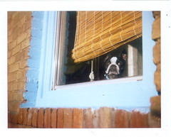 ivan, while i was working in the yard today (EllenJo) Tags: pets building brick home dogs window architecture polaroid bostonterrier ivan noflash structure fujifilm bungalow 2010 landcamera edifice saturdayafternoon doggieinthewindow instantfilm fujifp100c noflashused colorpack3 automaticexposure ellenjo ellenjoroberts winterinarizona january2010 january232010 weekendaroundthehouse noflashcube