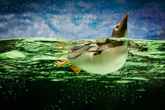 Hello world (Kerrie McSnap) Tags: green water birds animal swimming penguin aquarium nikon floating melbourneaquarium d60 flightlessbirds gentoopenguin