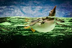 Hello world (Kerrie McSnap) Tags: green water birds animal swimming penguin aquarium nikon floating melbourneaquarium d60 flightlessbirds gentoopenguin