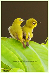 Oriental White Eyes Couple (magforce) Tags: home nature birds singapore wildlife birdwatcher orientalwhiteeyes
