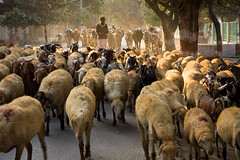 Gokul (Satyaki Basu) Tags: street india canon photography eos cow village dr indian lamb basu gokul mathura 5photosaday satyaki 450d earthasia gettyimagesmiddleeast