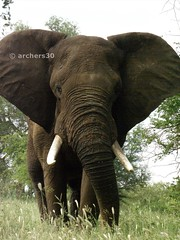 """685: Magnificent Bull Elephant - 100th Double Nice (archers30 - """"thanks for all the fish"""") Tags: elephant game bull safari kruger southarifca aboveandbeyondlevel1"""
