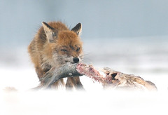 Fish for lunch (csabatokolyi) Tags: winter snow redfox vulpesvulpes h hortobgy vrsrka nikkor300mm28afsvr