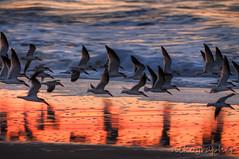BIF (Nikographer [Jon]) Tags: ocean nov november fall beach lenstagged nikon surf tripod nikkor 2009 hdr bif tnc blackskimmers 200400mm 1xp 1xphdr d300s ed200400mmf4gifvr imagesforblog1 nikond300s 20091108d30089635