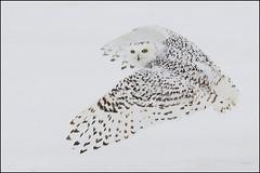 Owl (Snowy) - 1819 (Earl Reinink) Tags: bravo raptor snowyowl snowyowlinflight earlreinink wwwearlreininkcom wwwipaintca
