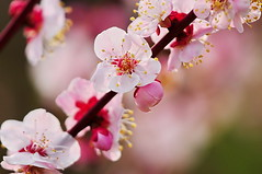 Heavenly Japanese Ume (naruo0720) Tags: plant flower macro nature closeup nikon bokeh ume  d300 supershot masterphotos mywinners abigfave japaneseume theunforgettablepictures