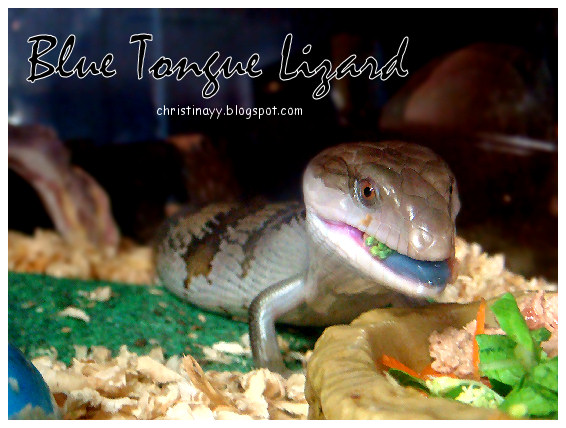 Pets Galore: Blue Tongue Lizard