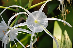 Hymenocallis littoralis (Jacq.) Salisb. Liliaceae (Amaryllidaceae): Spider Lily, ว่านดาบหลวง