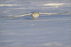 Owl (Snowy) - 1857 (Earl Reinink) Tags: flight raptor snowyowl snowyowlinflight earlreinink wwwearlreininkcom wwwipaintca