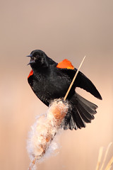 Red-Winged Blackbird (TheNatureDude) Tags: redwingedblackbird palosforestpreserve illinoiswildlife