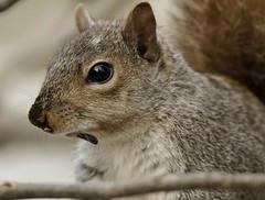 IMG_0460_7d (sqrphoto) Tags: wild usa nature animal canon newjersey backyard squirrel nj unioncounty berkeleyheights mywinners sqrphoto