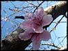 Fiori rosa,fiori di pesco (relisa) Tags: italy primavera nature spring blossom natura tuscany distillery grosseto maremma peachflower fioredipesco