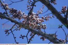 "Apricot  ""Prunus armeniaca""     prunus ""P. armeniaca""  abrikoos abricot Aprikose  albicocca  alperce   albaricoque    Aprikos  Aprikos  Aprikoosi   Cais  Aprikozes   Abrikosas        2010-04-01 038 (Badger 23 / jezevec) Tags: trees flower tree fleur forest spring indianapolis flor indiana boom rbol april apricot   blume fiore albero arbre rvore strom baum trd 2010 puno prunus bloem cais    albaricoque drzewo aprikose  albicocca    abricot abrikoos kvt aprikos vbr      aprikoosi   prunusarmeniaca   wabigon  alperce  parmeniaca badger23  abrikosas aprikozes  20100401"