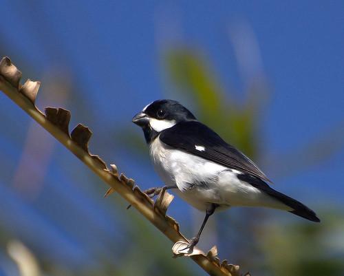 [フリー画像] 鳥類, スズメ目, ホオジロヒメウソ, 201004051500