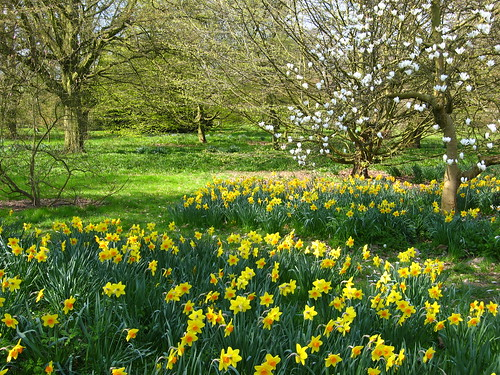 Daffodils and Magnolia, Kew Gardens