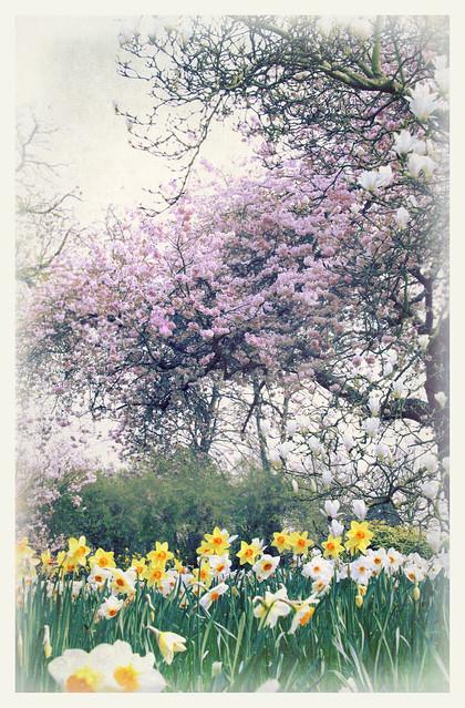 Cherry - magnolia - daffodils