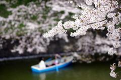 Sakura    (ddsnet) Tags: plant flower japan tokyo sony  cherryblossom  sakura to nippon   nihon hanami 900  backpackers   flower           tky   cherry blossom tkyto  japan 900     flowerinjapan to tky