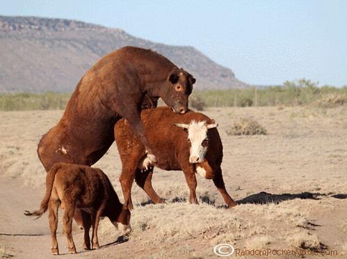 PAM_0141--mama-cow-plays-with-bull