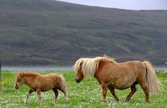 "Shetland Ponies (nz_willowherb) Tags: see scotland flickr tour visit shetland lerwick mainland shetlandponies to"" ""go visitshetland seeshetland goptoshetland visitlerwick gotolerwick seelerwick"