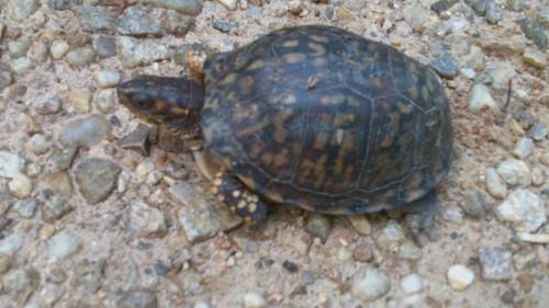 Box Turtle Poco 3