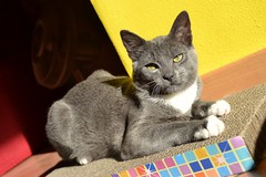 Cat (mikdm1) Tags: bronson color cat catphotography yellow eyes cateyes lovecat kitten graycat
