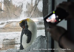 King Penguin (elissachris) Tags: animals penguin taipeizoo 20091017