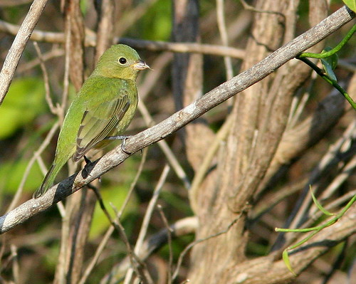 Painted Bunting 20091025