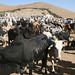 Keren - Camel and livestock market