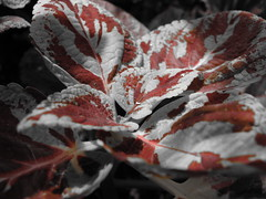 Selective color Colius (Jackson Atwater Thomson) Tags: white black flower color pretty coloring selective