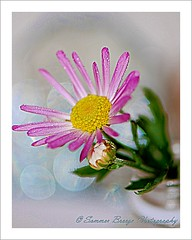 yours truly..... (Smme eeZe) Tags: pink light flower macro green home nature beauty yellow closeup bottle dof bokeh daisy yourstruly xoxo butterflykisses sincerelyyours auroraflorealis