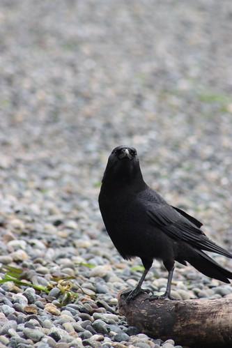 Raven - Lincoln Park
