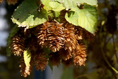 Hop Dried on the Vine (jacki-dee) Tags: november autumn fall oregon garden front frontyard aureus humulus humuluslupulus goldenhop frontbed cannabaceae lupulus goldenhopvine humuluslupulusaureus humulouslupulusaureus humulous humulouslupulus