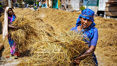 Hay on the street (Henk oochappan) Tags: life street food woman india house lady work canon eos countryside women village rice sunny daily hay tradition 2009 madurai tamil tamilnadu ef2470mmf28lusm southindia indianwomen canoneos5d oochappan indianphotography indianlady tamilwoman tamillifeculture tamilwomen img9709c thiruvedagam