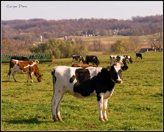 Cows, Lancaster County