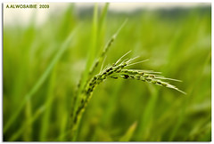 Ear of rice   (A.Alwosaibie) Tags: green 50mm photo nikon shot rice head ears ear spike f18 2009 tuft ksa d60 alhasa nikon50mm   alahsa   aalwosaibie