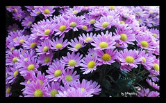 SUNSINE. (Spiro Anassis) Tags: flowers autumn canada flower art fall centennial sony contacts visualart creativeimagery sanassis flickrbestpics flickrsmasterpieces
